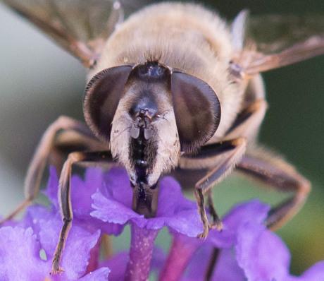 wesp drinkt nectar