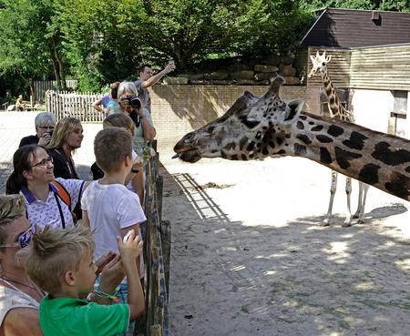 Giraffen - Ik dacht steeds dat het tong uitsteken vooral voor mij bedoelt was, maar hier is duidelijk dat het ook naar andere bezoekers is. Zijn het de camera's - foto door Nel Hoetmer op 26-07-2014 - deze foto bevat: dieren, emmen, nel