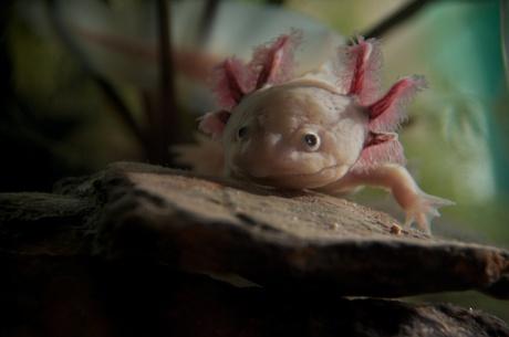 Axolotl 'Axel'