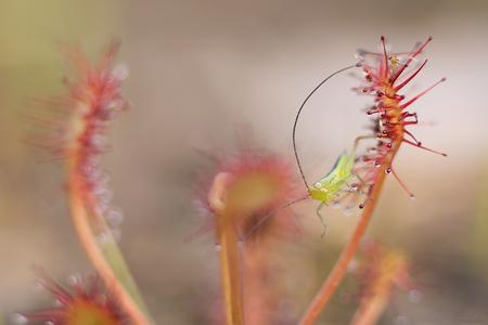 Minuscuul - een heel klein sprinkhaantje in de ook al zo kleine zonnedauw gevangen, rechts bovenin nog een slachtoffertje. - foto door mourik57 op 29-05-2020 - deze foto bevat: macro, druppels, gevangen, sprinkhaantje, voorjaar, mei, zonnedauw, brigit, slachtoffer, heel klein