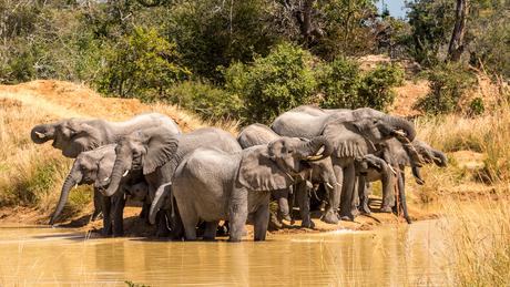 dorstige olifanten in morgen licht
