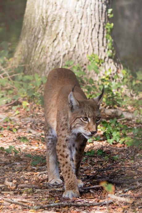 Lynx Anholter Schweiz