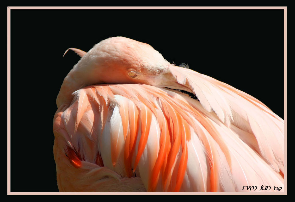 flamingo - Soms bij het opruimen van mijn archief kom je nog wel eens iets tegen wat ik de moeite waard vind om met jullie te delen. Gemaakt in Burger Zoo in 20 - foto door mayomar op 19-03-2013 - deze foto bevat: roze, vogels, flamingo, dieren
