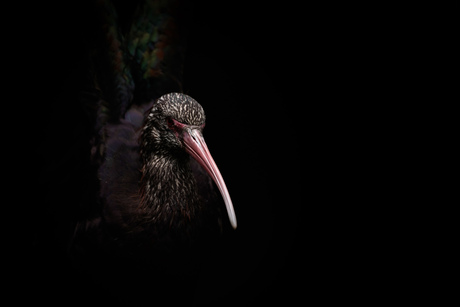 Puna Ibis