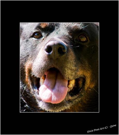 Rottweiler Spike