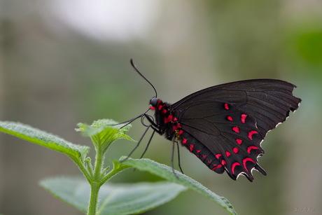zwart met rode vlinder