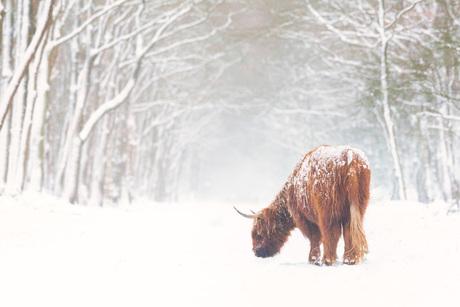 Hooglander in de verse sneeuw