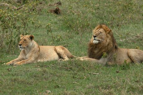 Alert leeuwen koppel