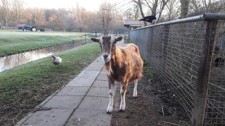 goede morgen - elkaar gedag zeggen op de vroege ochtend - foto door RolandvanTol op 21-02-2021 - deze foto bevat: natuur, dieren, eend, koud, geit, Vroege ochtend, Muskus Eend, kaapse eend