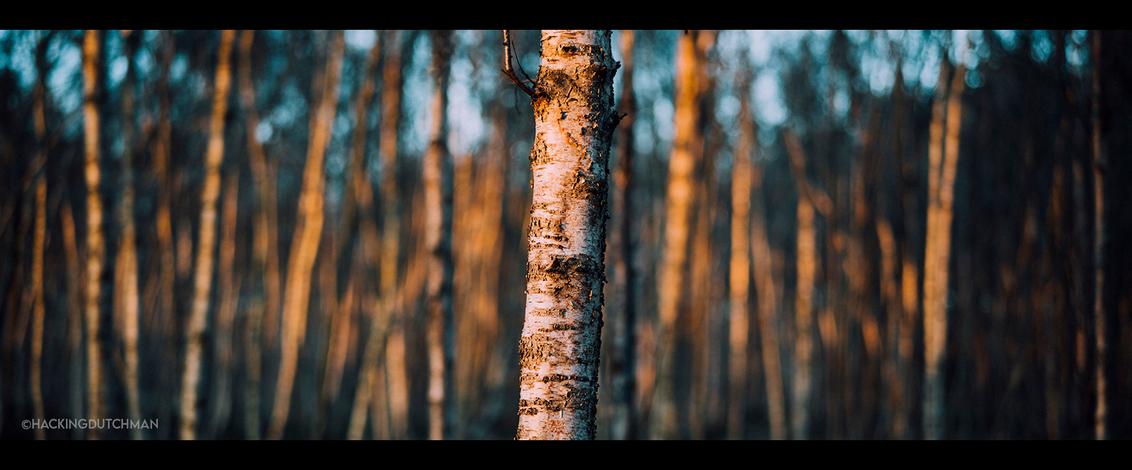 Boom - Deel van een boom in de avondzon in het bos.     ©MotionMan 2020 - foto door motionman op 09-12-2020 - deze foto bevat: kleuren, rood, blauw, zon, boom, abstract, natuur, oranje, herfst, avond, avondzon, lijnen, landschap, bos, bomen, perspectief, schemer, compositie, sfeer, berk, kleurrijk, contrast, gevoel, warm, natuurlijk, apart, scherptediepte, sony, zonnig, diepte, schors, sfeervol, berkenboom, bokeh, scene, oranjewoud, complementair, zeiss, scenic, organisch, winterm, planar, cinematisch, warmezon