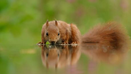 Drinkende eekhoorn