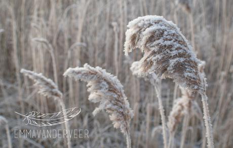 Snow Encrusted Grass