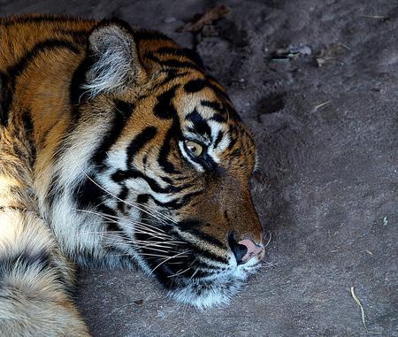 Tijger - - - foto door tuur- op 05-03-2018 - deze foto bevat: dierentuin, dieren, tijger