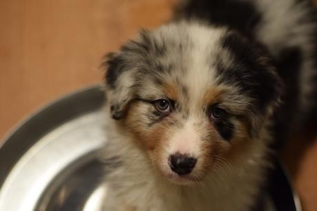 Australian Shepherd Blue Merle Pup