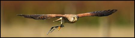 Torenvalk in de vlucht... - Een torenvalk die werd gespot in de vlucht... - foto door meetchum op 30-11-2010 - deze foto bevat: vogel, valk, canon, roofvogel, torenvalk, eos