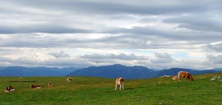 Het goede leven - Deze Koeien boffen op deze fantastische plek! - foto door mariah1982 op 04-07-2010 - deze foto bevat: koeien, weiland