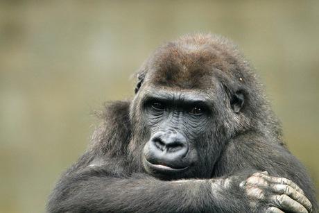 portret van de gorilla