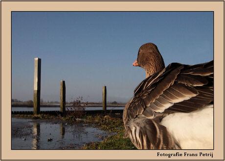 Goose - Harbour