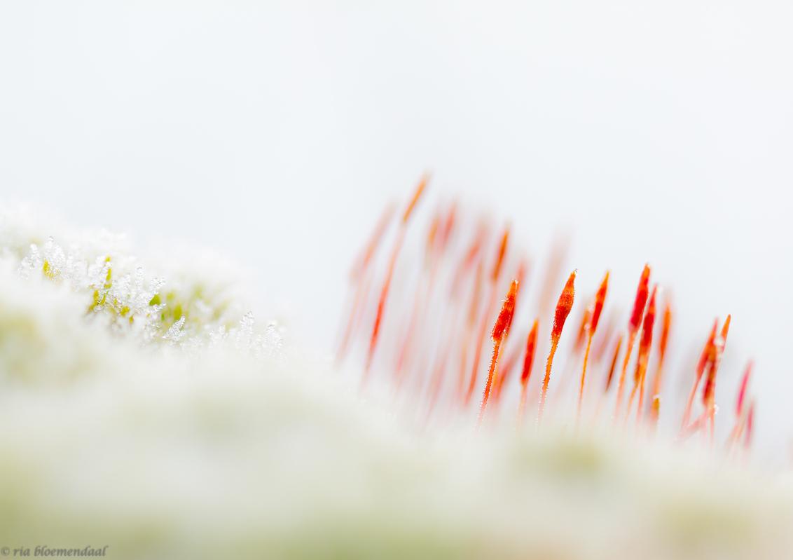 vurig haarmos - Deze foto van het vurig haarmos met rijp na nachtvorst, past wel bij de winterse kou van vandaag dacht ik zo. Van mij mag het voorjaar losbarsten! - foto door riabloemendaal op 17-03-2018