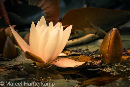 Water lily - - - foto door ByMarcel op 30-06-2017 - deze foto bevat: bloem, water, blad, waterlelie, nederland
