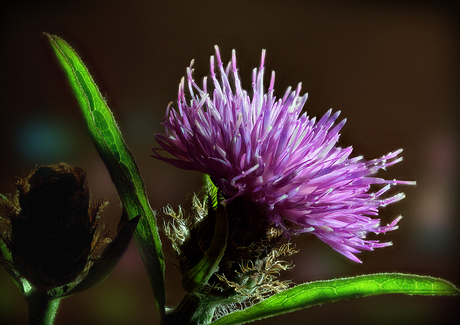 Akkerdistel - Cirsium arvense _2081