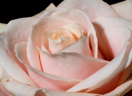 Pink rose - - - foto door Juniorrtje op 04-03-2021 - deze foto bevat: roze, macro, bloem, natuur, roos, licht, flitsen, macrofotografie