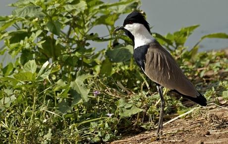 Sporenkievit ((Vanellus spinosus)