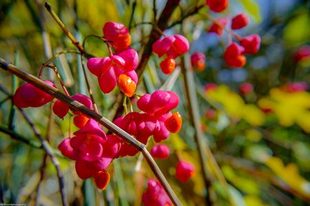 Zomer kleur in de herfst - kardinaalsmutsje - Heerlijk om nu nog zoveel zomer kleurtjes tegen te komen in deze periode. - foto door YvonneMvdW op 17-11-2013 - deze foto bevat: roze, autumn, natuur, oranje, herfst, kardinaalsmutsje