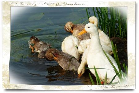 Eendenfamilie - Een foto van eind april alweer toen ik even de nieuwe camera van mijn vader had gej....eh, geleend ;-)  Groetjes, L@rs - foto door lgeering op 10-07-2014 - deze foto bevat: water, natuur, eend, voorjaar