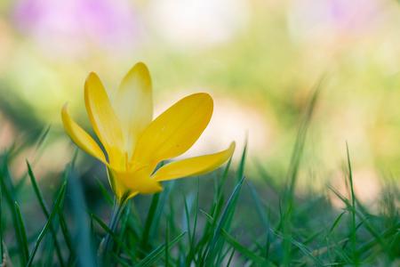 Krokus in bloei - Een krokus in bloei. - foto door ErikV74 op 13-03-2021 - deze foto bevat: groen, macro, bloem, lente, natuur, geel, licht, tuin, dof, bokeh