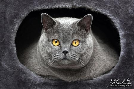 Mooie kijkers - Een mooie britse korthaar poes, veilig in haar holletje. Met haar mooie ogen keek ze recht in mijn lens. Die ogen springen er mooi uit tegen al dat g - foto door marlindafotografie op 17-11-2011 - deze foto bevat: blauw, poes, dieren, kat, katten, dier, poezen, raskat, raskatten, britse korthaar, british shorthair, kattenras