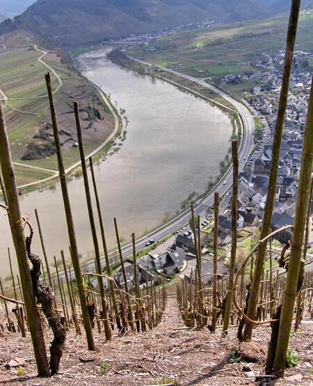 Wijnranken - Wijnranken op de steilste wijnbouwberg van Europa de Bremmer Calmont. Als je daar de druiven plukt en je valt, val je zo Bremm aan de Moezel binnen. - foto door Duckie_zoom op 27-04-2008 - deze foto bevat: wijnranken, moezel, neef, steil, bremm, mosel, bremmer, calmont