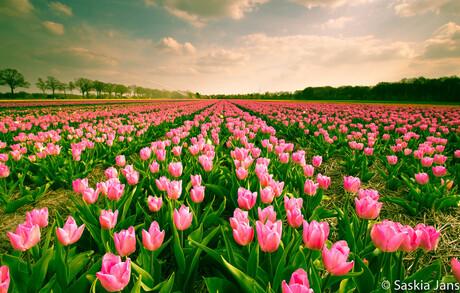 Tulpen uit hun bol