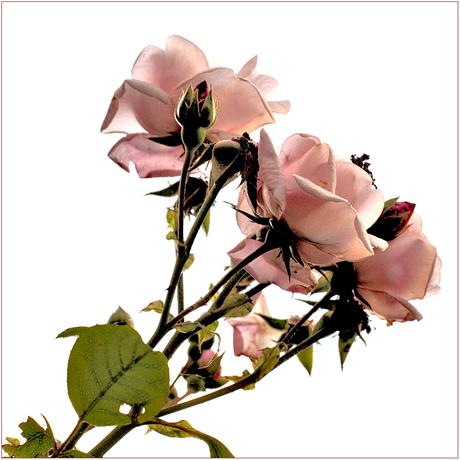 Variatie roos