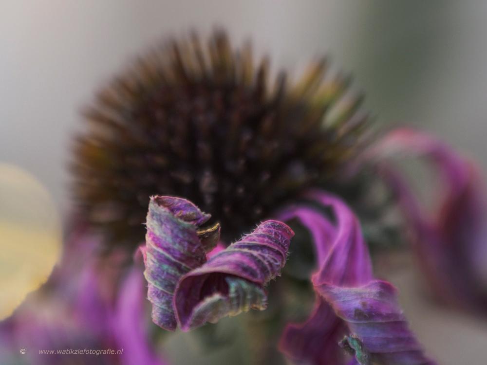 Autumn is coming . . . - Een Lensbaby Foto!! - foto door watikziefotografie op 28-10-2016 - deze foto bevat: roze, groen, paars, macro, zon, bloem, soft, natuur, bruin, licht, tuin, tegenlicht, buiten, lensbaby, thuis, vaag, dof, bokeh, Soft colors