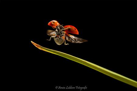 Fly away - Vliegend opweg naar mooi weer.  Een goed getimed Macro'tje  Gr Arwin - foto door lubbers op 19-08-2011 - deze foto bevat: macro, lieveheersbeestje, vliegen, insecten, micro