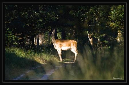 Hinde met smaldier - Zondagmorgen na een paar uurtjes wildspotten was ik op de terugweg voor een lekker bakkie koffie toen ik tussen de bomen een groepje herten zag lopen - foto door wildspotter op 06-09-2010 - deze foto bevat: edelherten, hinde, herten, wildspotter, smaldier