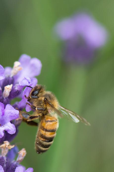 Honingbij of zweefvlieg?