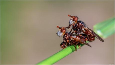 Blaaskopvliegen.