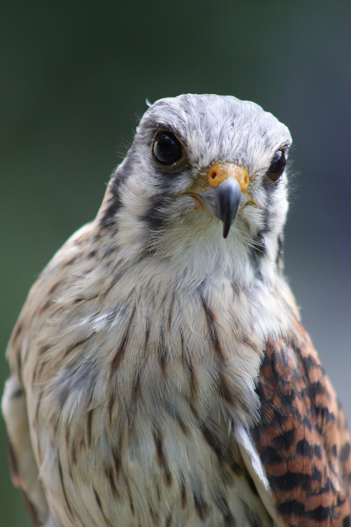Falconcrest, - Ook deze is genomen tijdens de zoom meet van Jos / utzefke. Persoonlijk vond ik deze vogel er erg aaibaar uitzien. De realiteit is natuurlijk anders - foto door tirsje op 19-07-2010 - deze foto bevat: roofvogel, tirsje, falconcrest07
