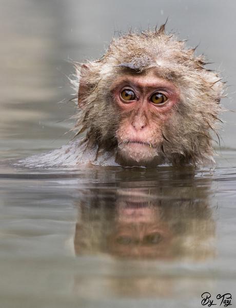Snow monkey in hotspring