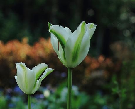 De groene tulp