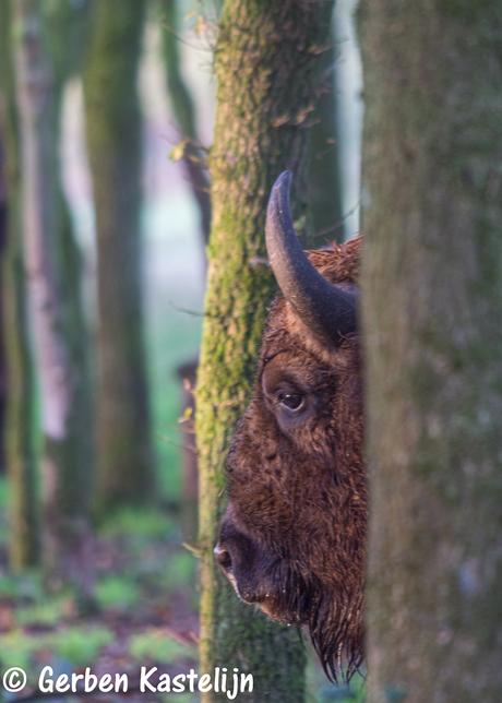 wisent in het bos op zoek naar eikeltjes
