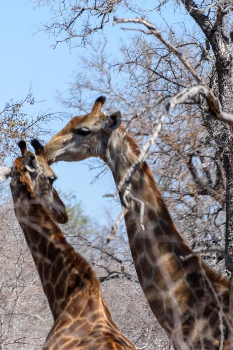 Giraffe in Krugger park