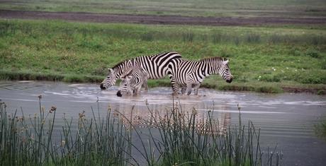 Zebra's bij waterpoel