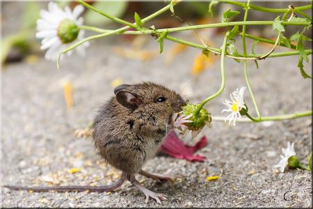 Wildlife 2 - Terwijl Margo met de 100mm macro-lens op deze muis schoot (zie vorige upload) lag ik er op mijn knieën naast met de 70-300 mm lens. Moet eerlijk zeg - foto door MargoGer op 13-07-2013 - deze foto bevat: tuin, muis