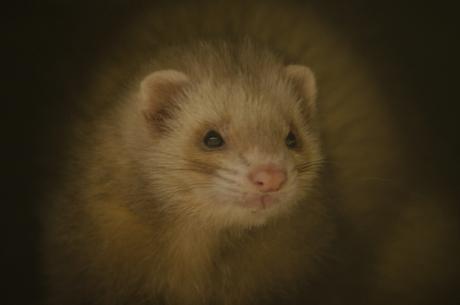 Hermelijntje
