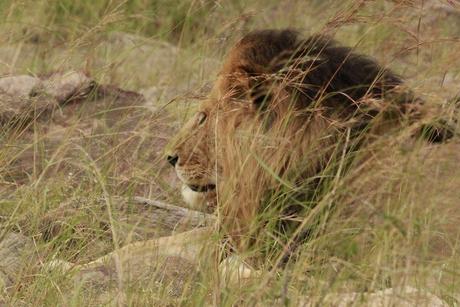 Leeuw in het hoge gras