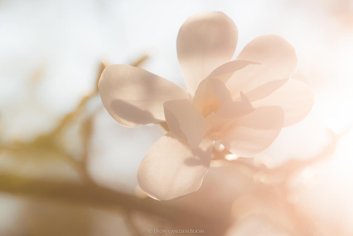 New Beginning - Je hoeft ver te gaan voor de schoonheid van de natuur. Foto van bloesem gemaakt in de achtertuin. - foto door DionvandenBoom op 30-04-2017 - deze foto bevat: zon, bloem, lente, natuur, licht, tuin, blad, tegenlicht, voorjaar, nederland