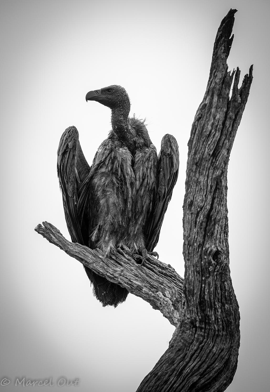 Witrug gier - Witrug gier Kruger Park, Zuid Afrika - foto door marcelout op 09-12-2015 - deze foto bevat: boom, dieren, safari, vogel, gier, afrika, wildlife, kruger, B/W, wit rug